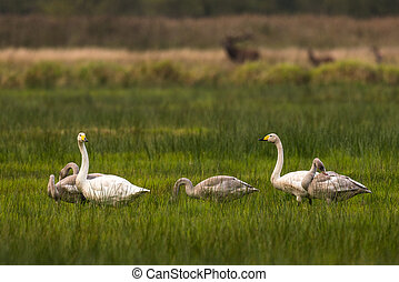 famaly of whooper swans sitting in grasland in germany