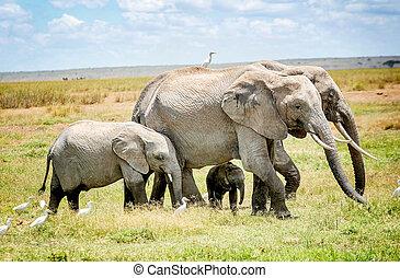 famiglia, di, elefanti, in, kenia, africa