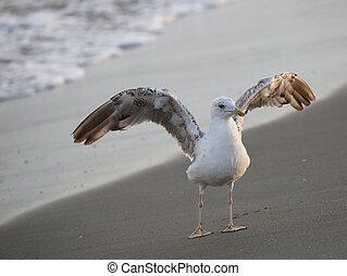famiglia, singolo, laridae, gabbiano, spiaggia, uccello
