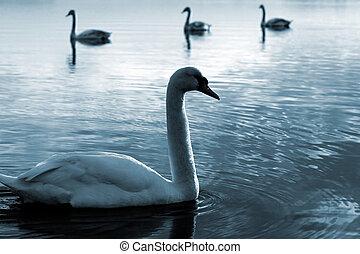familia , de, cisnes