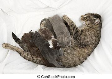 familia del gato