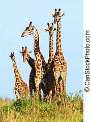 familie, giraffen