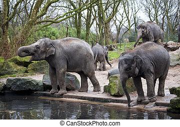 famille, arrosage, india., forêt, va, éléphant, trou
