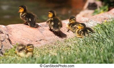 famille, canard
