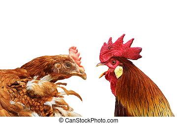 famille, métaphore, à, poule, et, coq