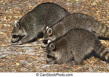 famille raton