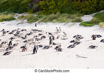 Family African penguins in Cape Town