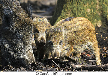 Beautiful wild boars (Sus Scrofa) in national park Het Aardhuis at the Hoge Veluwe in the Netherlands