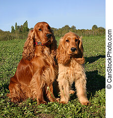 family cocker - puppy and adlut purebreed cocker spaniel