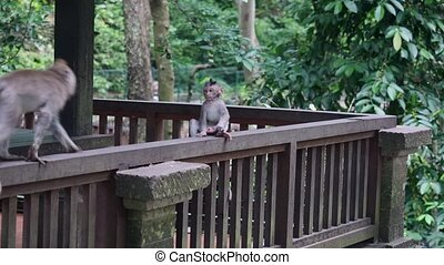 Family couple of monkeys playing with her baby in a forest tropical Indonesia.