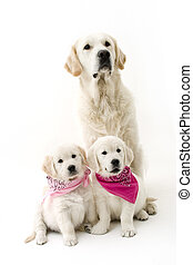 family dogs - daddy dog and two puppies
