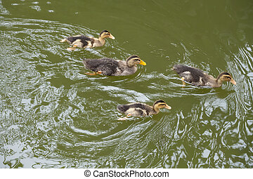 family ducks swimming on a pond