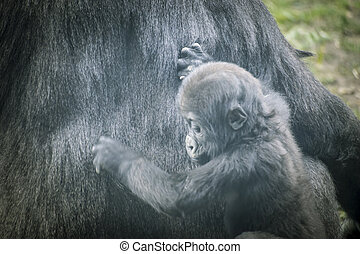 Family, huge and powerful gorilla, natural environment