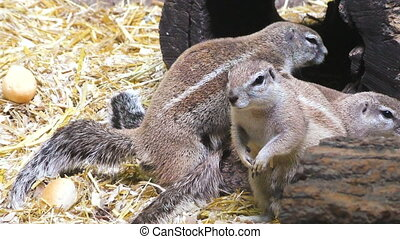 Family is a protein in nature. - Family of gray squirrels in...