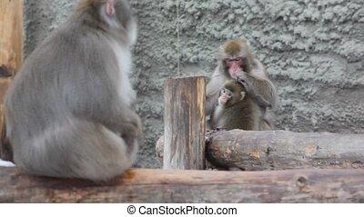 family monkey - Family of monkey.