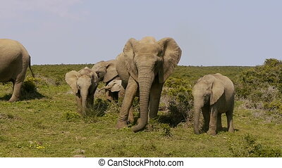 family of africa elephants