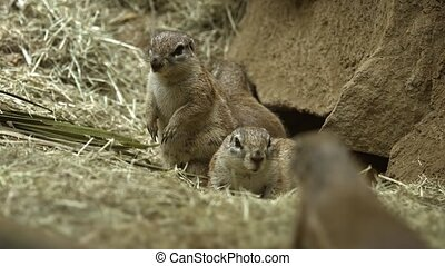 Family of adorable African ground squirrels standing guard at the entrance to their underground den. Footage UHD