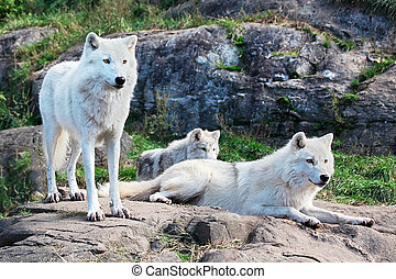 Family of Arctic Wolves - A family of arctic wolves are ...