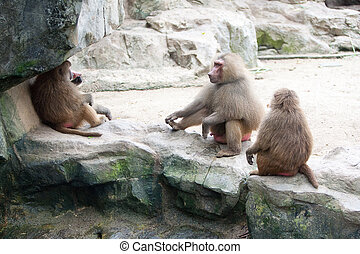 Family of baboon in a zoo enclosure taking a rest from the...