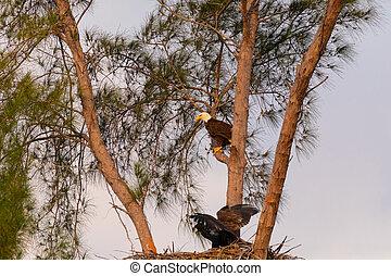 Family of bald eagle Haliaeetus leucocephalus parents with ...
