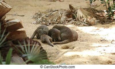 Family of Banded mongoose (Mungos mungo)