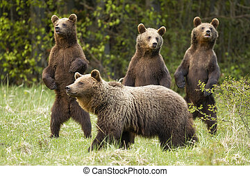 Family of brown bear with curious three cubs standing on rear legs in spring.