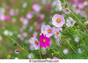 Family of cosmos flowers in summer garden