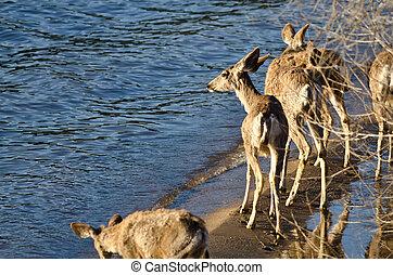 Family of Deer Walking Along the Water's Edge