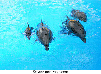 Family of dolphins, mother and father with his young dolphin swims in the pool. Child is having fun in the water and have fun playing