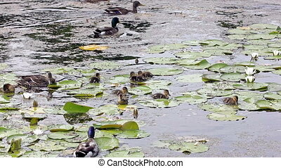 Family of ducks searching for food