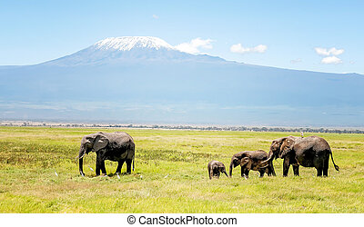 Family of Elephants in Kenya with Kilimanjaro mount in the background, Africa