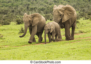 Family of elephants on a path