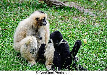 White-cheeked Gibbon - Family of Gibbon, White-cheeked...