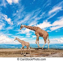 family of giraffes goes against the blue sky