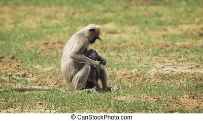 Family of Gray Langurs at Wildlife Sanctuary in Sri Lanka -...