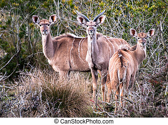 Family of Greater Kudu in the wild