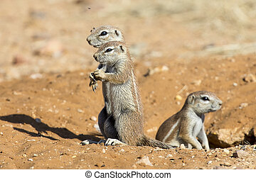 Family of Ground Squirrels carefully come out of their burrow in Kalahari