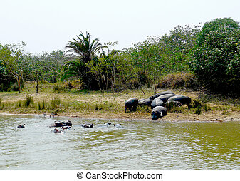 Family of hippos on St. Lucia Lake, South Africa