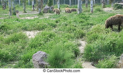 Family of hyenas - Crocuta crocuta. Wild Spotted, Laughing...