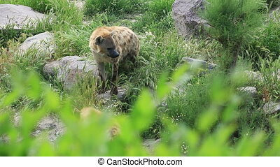 Family of hyenas - Crocuta crocuta. Wild Spotted, Laughing...