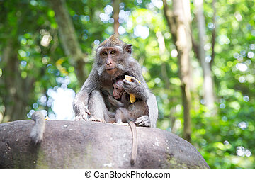 Family of long-tailed macaque (Macaca fascicularis) in Sacred Monkey Forest, Ubud, Indonesia