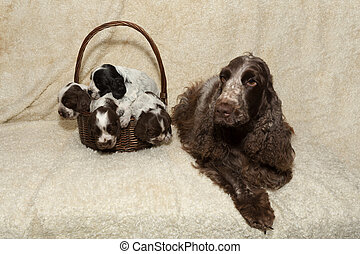 family of lying English Cocker Spaniel puppy