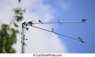 Family of martlets sitting on the TV antenna