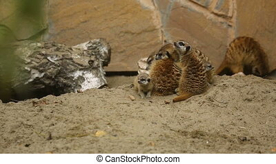 Family of meerkat playing outdoor - Meerkat family play...