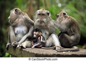 Family of monkeys. Bali a zoo. Indonesia