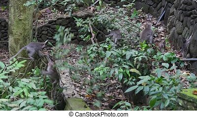 Family of monkeys climb up the lianas in tropical forests of Indonesia.