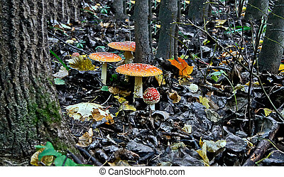 mushrooms fly agaric in autumn forest.