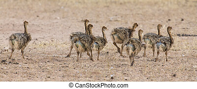 Family of ostrich chicks running after their parents in dry Kalahari sun