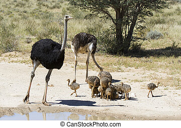 Family of ostriches approaching a water pool in hot sun of the Kalahari