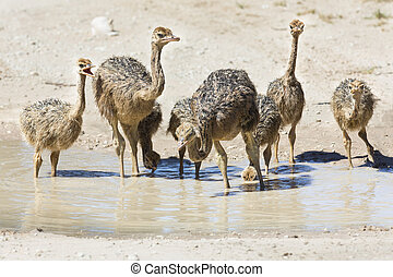 Family of ostriches drinking water from a pool in hot sun of the Kalahari